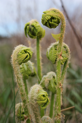 Ferns unfurling at Prout's Neck, Maine. Photo by Amanda Painter. View a chart here showing the Sun at the Taurus midpoint making favorable aspects to Jupiter, Chiron and Pisces.