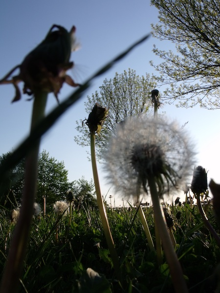 Dandelions at Fort Sumner Park (also known as To